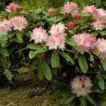 Вечнозеленые рододендроны — выращивание и уход в средней полосе России