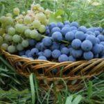 Как вырастить виноград на даче в Подмосковье