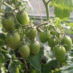 Как ускорить созревание томатов на кусте в теплице или открытом грунте
