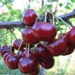 Дюк – гибрид вишни и черешни