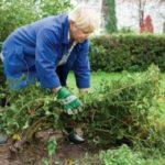 Как правильно подготовить кусты розы к зиме - обрезка и укрытие