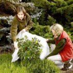 Как правильно укрыть декоративные кустарники на зиму в Подмосковье