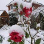 Как укрыть розы на зиму если уже выпал снег