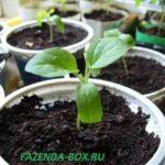 Опыт выращивания рассады перцев в домашних условиях