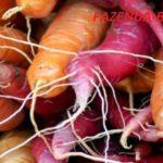 Отзывы о лучших сортах моркови и свеклы