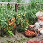 Как получить ранний урожай томатов в неотапливаемой теплице