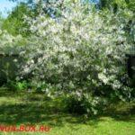 Почему вишня цветет, но не плодоносит и что делать