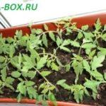 Что делать с рассадой помидор после всходов, чтобы она не болела