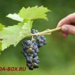 Как правильно выращивать виноградную лозу в средней полосе России