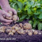 Как повысить урожайность картофеля на приусадебном участке