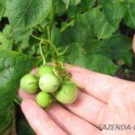 Как вырастить картофель рассадой из семян