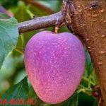 Яблоко со вкусом винограда или гибриды овощей и фруктов