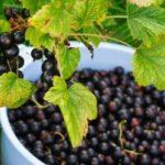 Урожайные сорта черной, красной и белой смородины с крупными ягодами для Подмосковья