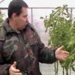 Как ускорить созревание томатов в холодную погоду