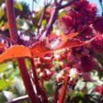 Клещевина обыкновенная - посадка и уход в открытом грунте