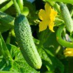Детерминантные и индетерминантные  сорта огурцов – выбор семян и особенности выращивания.