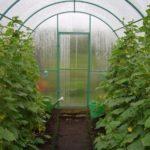 Длинноплодные и короткоплодные сорта огурцов для теплицы, открытого грунта и балкона