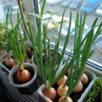 Мини-огород в квартире – как вырастить зимой овощи и зелень на подоконнике