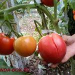 Как заставить помидоры краснеть на кусте в теплице