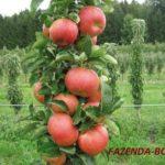 Колоновидные яблони — посадка, уход и обрезка