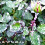 Как защитить цветы в саду от болезней в дождливое и прохладное  лето
