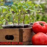 Когда сажать семена томатов на рассаду в 2018 году