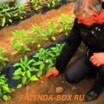 Сорта и гибриды перцев для средней полосы России
