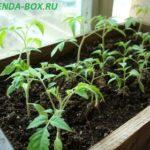 Ошибки при выращивании рассады томатов в домашних условиях