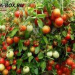 Ранние помидоры для открытого грунта высокоурожайные