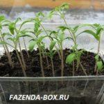 Как задержать рост рассады томатов в домашних условиях