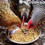 Взрослые куры несушки с птицефабрики Томилино – купить недорого