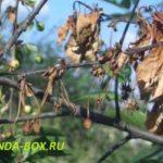 Как спасти вишни от монилиоза