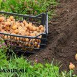 Агротехника выращивания картофеля в Подмосковье