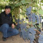 Как правильно выращивать виноград в Сибири - советы для начинающих