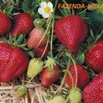 Какие сорта земляники лучше выращивать в Подмосковье, зарубежные или отечественные