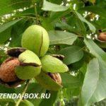 Можно ли вырастить грецкий орех в Подмосковье
