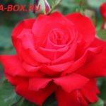 Самые крупные сорта роз для средней полосы России