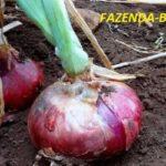 Лук ялтинский красный - выращивание из семян в средней полосе
