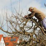 Правила ухода за молодыми и взрослыми плодовыми деревьями