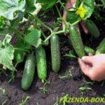 Как лучше выращивать огурцы в открытом грунте - на шпалере или на земле