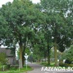 Какое дерево считается высокорослым