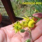 Почему у помидоров цветки махровые
