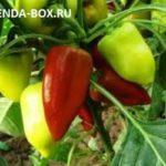 Как заставить перцы цвести и плодоносить