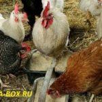 Как приготовить корм для кур несушек в домашних условиях