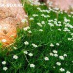 Мшанка шиловидная - посадка и уход в открытом грунте