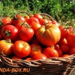 Отзывы дачников об урожае томатов в 2018 году