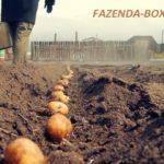 Запрет на посадку картофеля в России из своих запасов