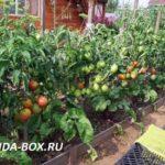 Лучшие сорта томатов для открытого грунта - отзывы дачников