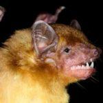В Африке обнаружили новые виды летучих мышей